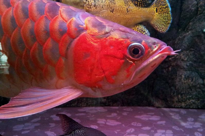 北京印尼小红龙  北京龙鱼 北京龙鱼第2张