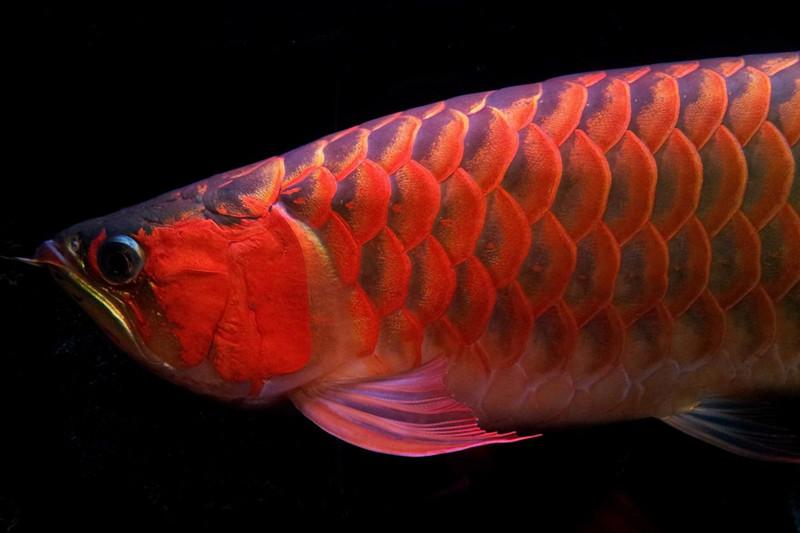 北京印尼小红龙  北京龙鱼 北京龙鱼第4张