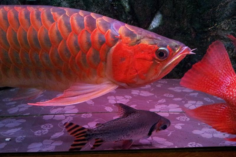 北京印尼小红龙  北京龙鱼 北京龙鱼第3张
