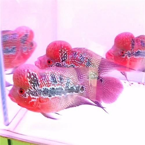 北京鸿运当头罗汉鱼五 北京罗汉鱼 北京龙鱼第6张