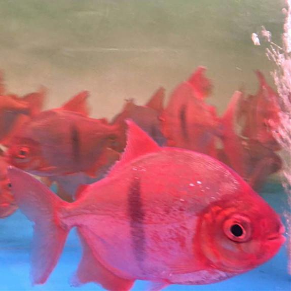 北京玫瑰银版鱼 北京水族新品 北京龙鱼第3张