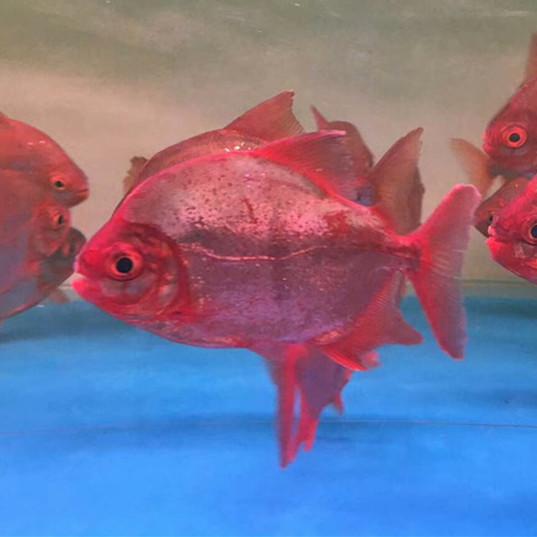 北京玫瑰银版鱼