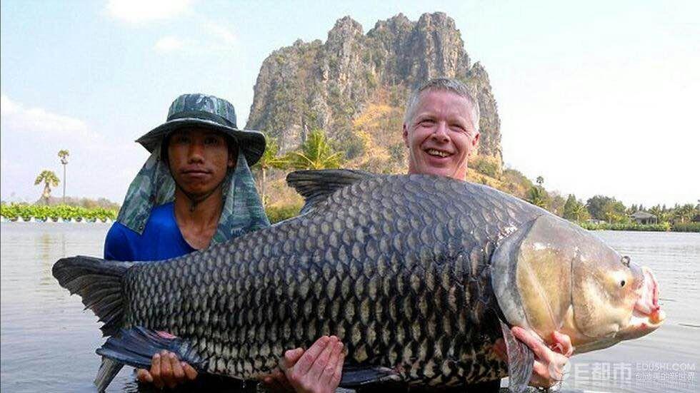 北京暹罗巨鲤(国宝级) 混养鱼(北京龙鱼配鱼) 北京龙鱼第1张