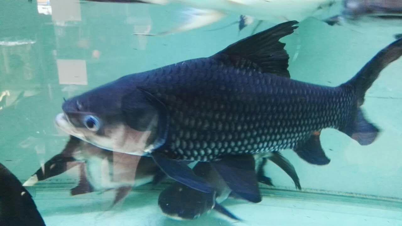 北京暹罗巨鲤(国宝级) 混养鱼(北京龙鱼配鱼) 北京龙鱼第2张