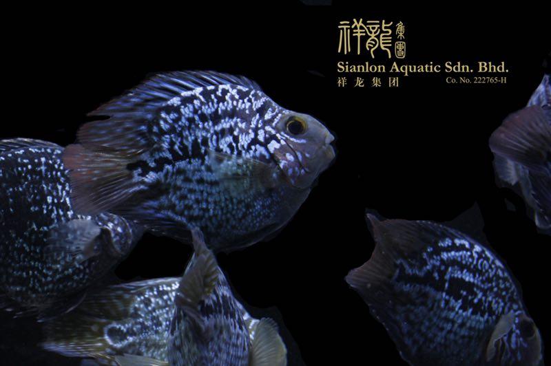 北京黑卡鱼 北京水族新品 北京龙鱼第3张