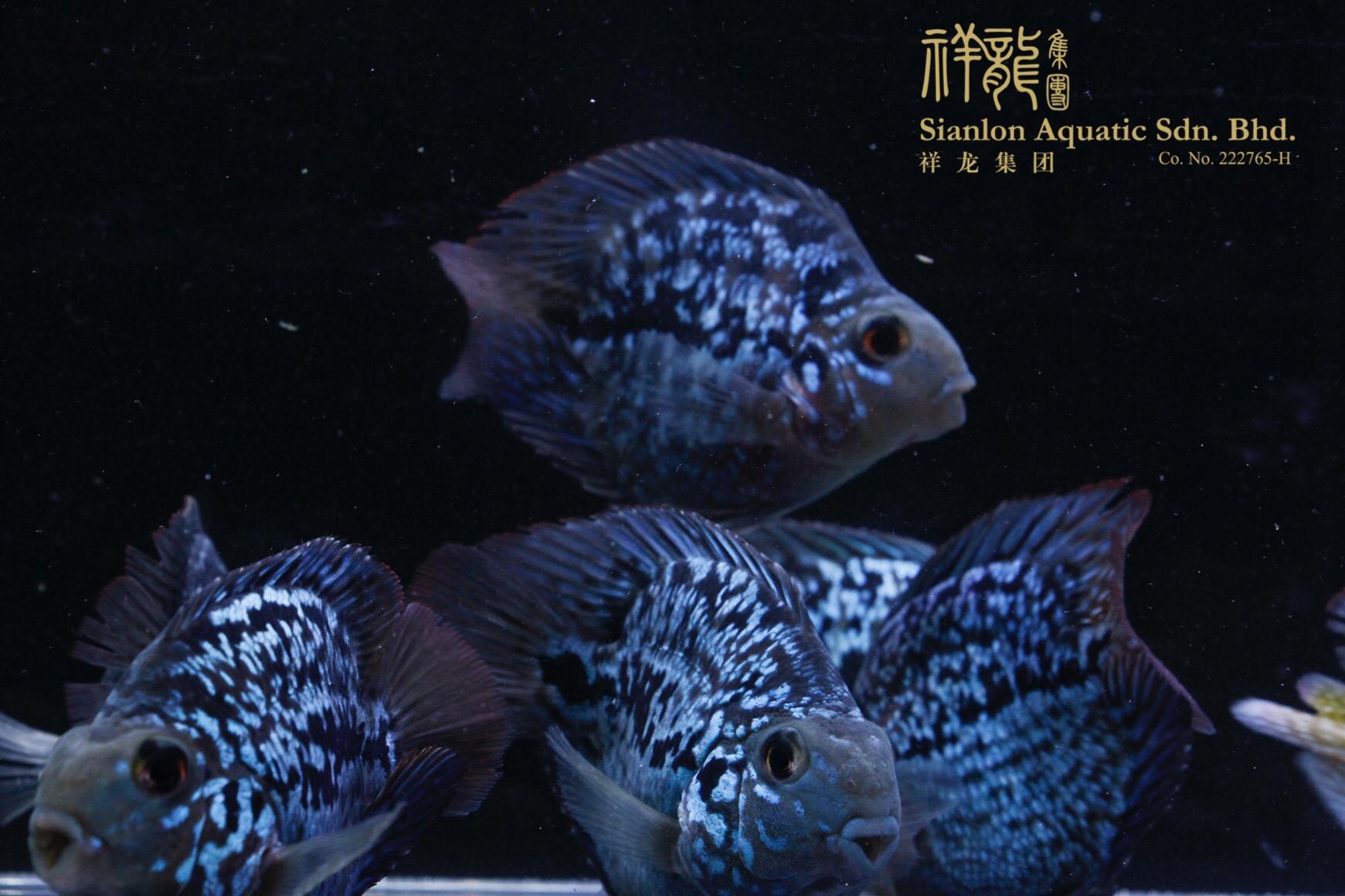 北京黑卡鱼 北京水族新品 北京龙鱼第5张
