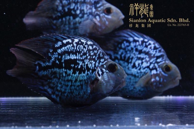 北京黑卡鱼 北京水族新品 北京龙鱼第6张