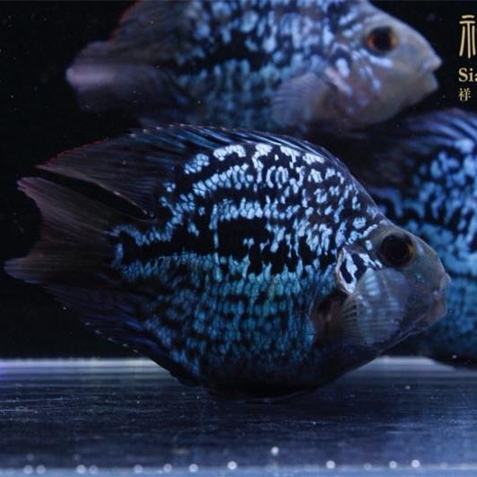 北京黑卡鱼
