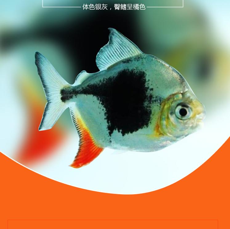 北京黑桃A鱼