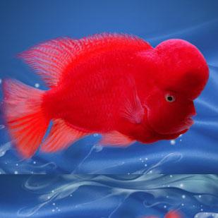 北京红马罗汉鱼
