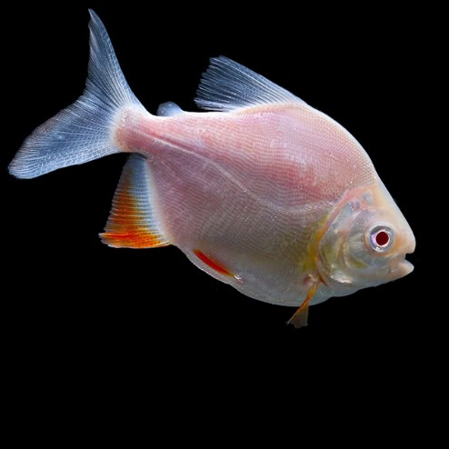 北京白子银版鱼