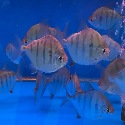 北京虎纹银版鱼 混养鱼(北京龙鱼配鱼)