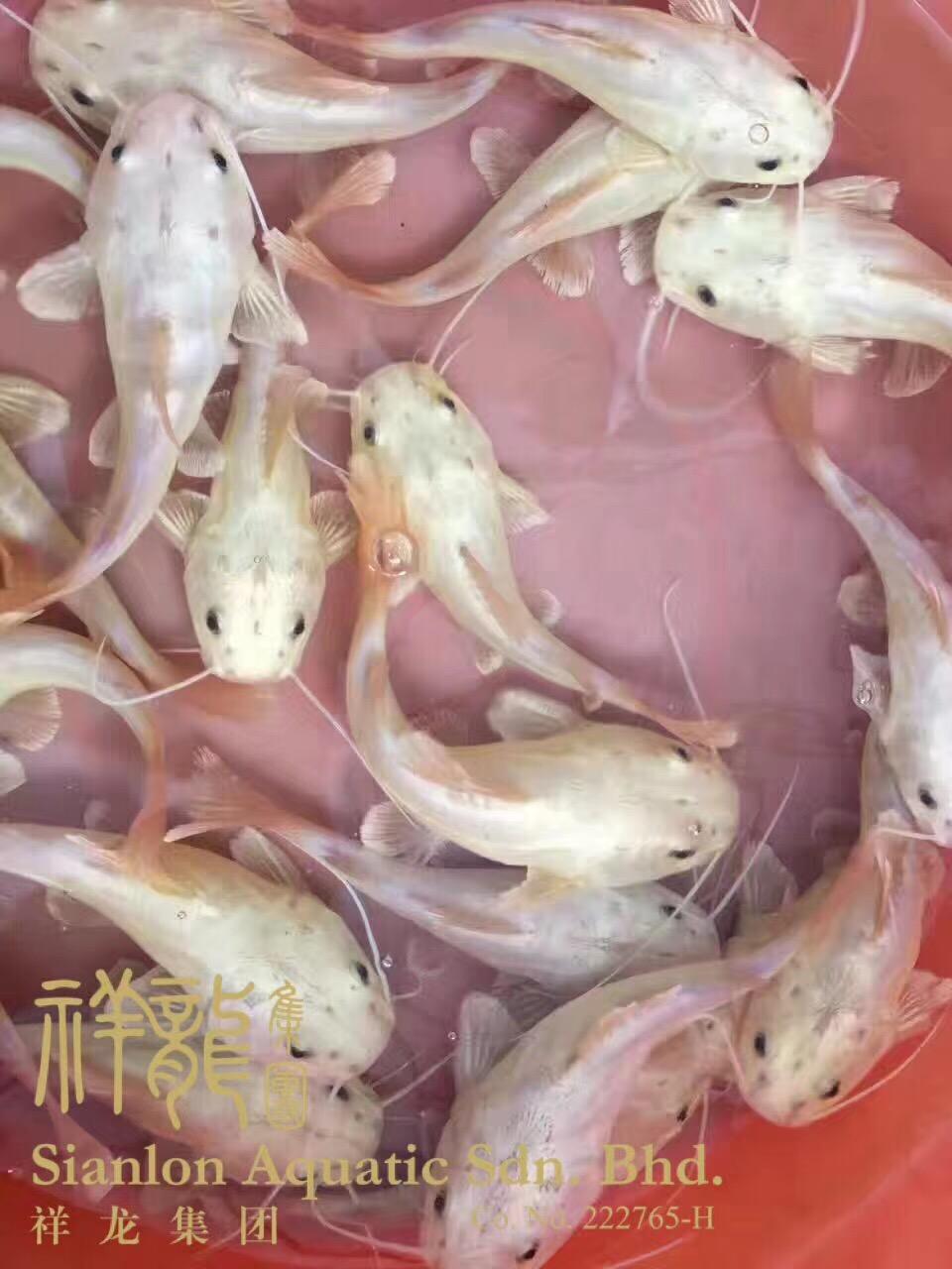 北京黄金猫鱼 混养鱼(北京龙鱼配鱼) 北京龙鱼第2张