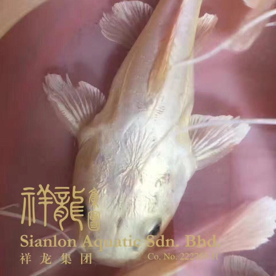 北京黄金猫鱼