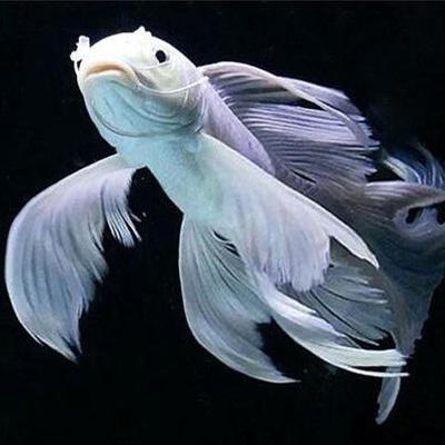 北京蝴蝶鲤鱼