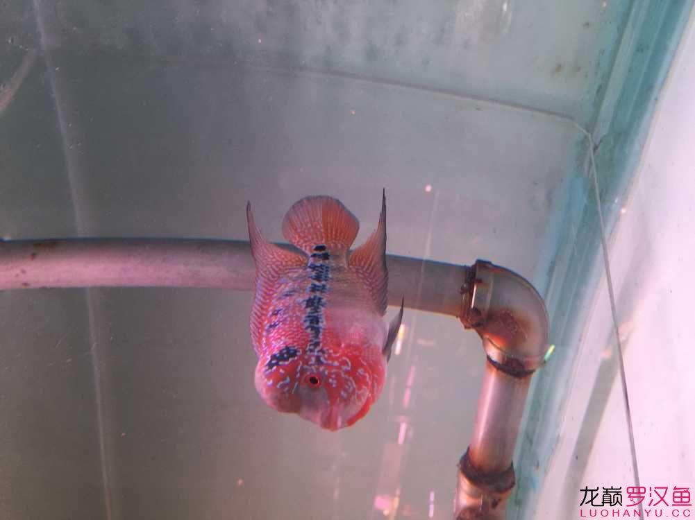 准备入【北京玫瑰银板鱼怎么养】手的小罗 请大侠指点 北京观赏鱼 北京龙鱼第1张