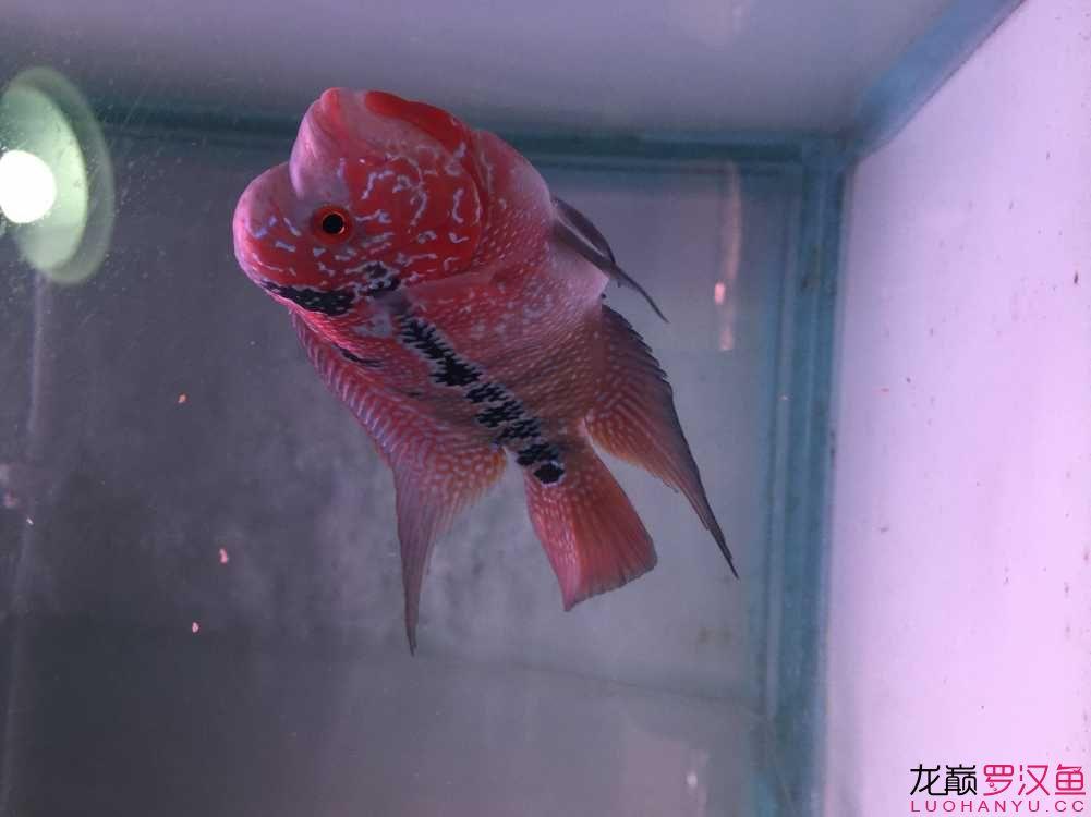 准备入【北京玫瑰银板鱼怎么养】手的小罗 请大侠指点 北京观赏鱼 北京龙鱼第4张