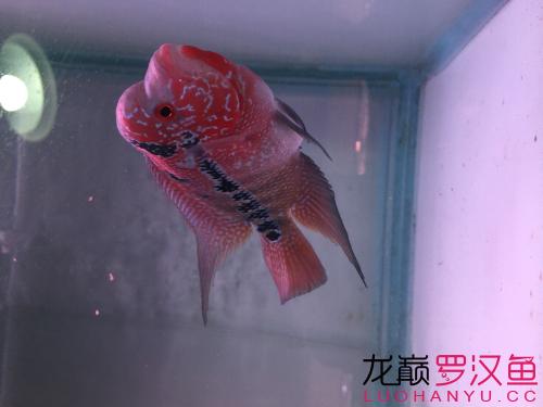 准备入【北京玫瑰银板鱼怎么养】手的小罗 请大侠指点 北京观赏鱼 北京龙鱼第5张