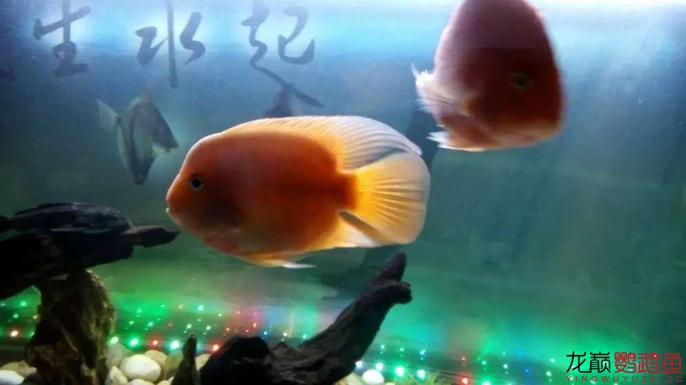 【北京哪个水族店卖白化鸭嘴】大家看看 我的鹦鹉鱼起头了 怎么让它更大呢 北京观赏鱼 北京龙鱼第1张