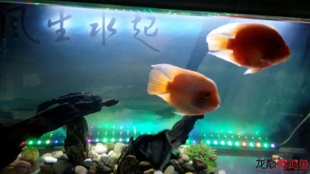 【北京哪个水族店卖白化鸭嘴】大家看看 我的鹦鹉鱼起头了 怎么让它更大呢 北京观赏鱼 北京龙鱼第2张