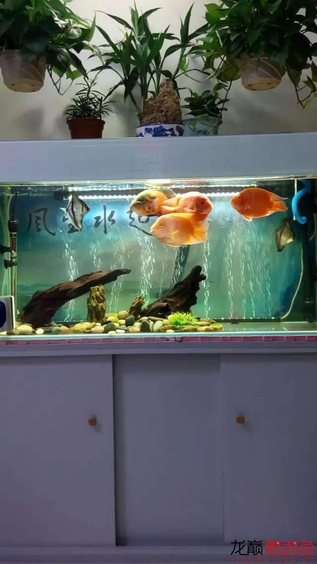 【北京哪个水族店卖白化鸭嘴】大家看看 我的鹦鹉鱼起头了 怎么让它更大呢 北京观赏鱼 北京龙鱼第3张