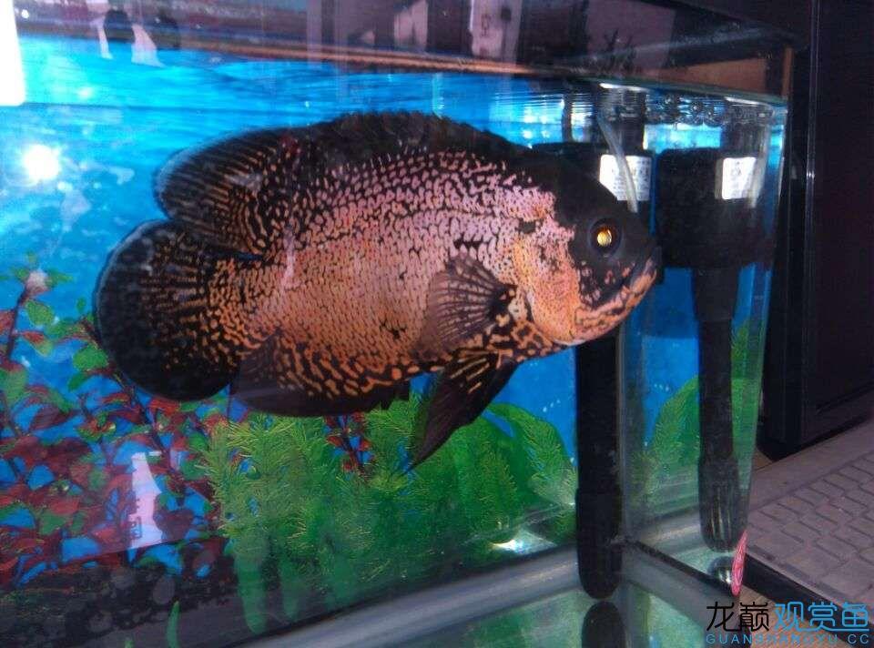 北京暹罗巨鲤(国宝级)我家地图鱼