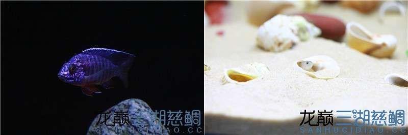 龙巅三湖慈鲷论坛十月【北京超血红龙】壁纸评选结果公布