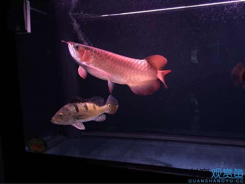 【北京水族店的饲料鱼可以放】老鱼友们帮忙看看红龙价值如何?