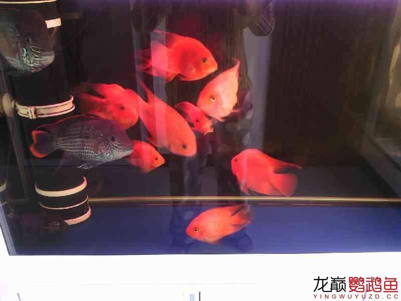 鹦鹉鱼发白