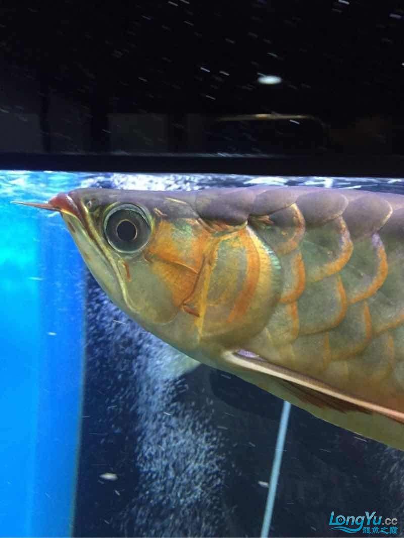 龙鱼营养过剩,眼睛