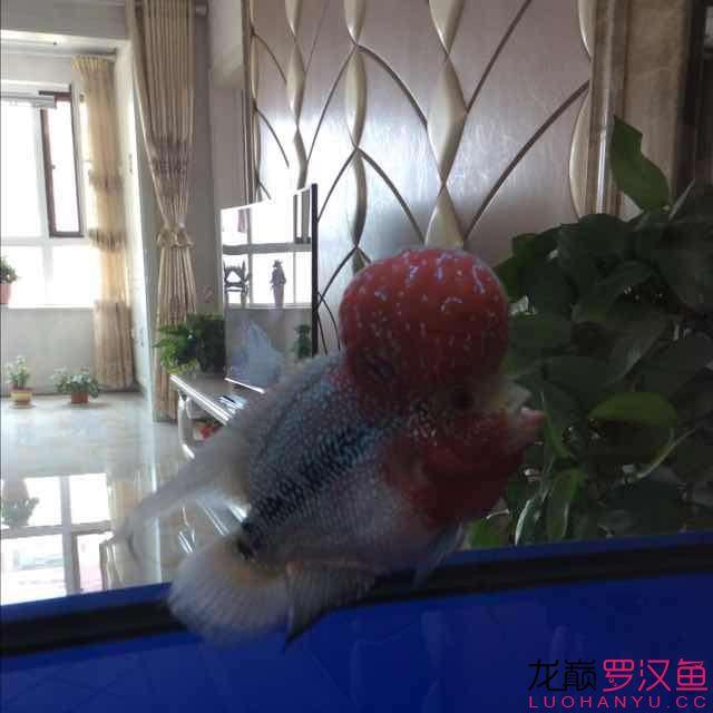 """【北京水族市场2017】看看我的""""大头娃娃""""怎么样"""
