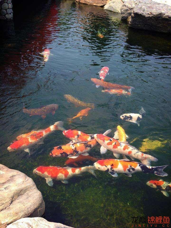 风水锦鲤鱼,常见问题