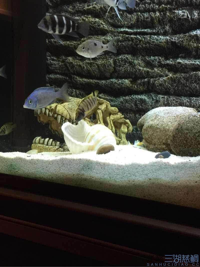 北京鱼缸批发母鱼开始守贝壳,可是公鱼根本没反应