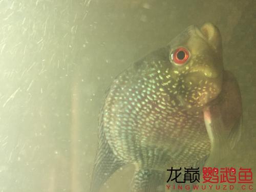 北京观赏鱼批发帮忙看看我的麒麟