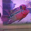 鱼缸里面有白色颗粒还是粘在一起的在那个鹅旁边鱼缸养了孔雀鱼斑马鱼苹果螺是哪个的卵