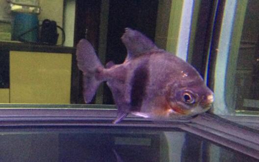 请问有没有知道 这鱼叫什么?