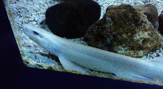 罕见白化病鲨鱼亮相英北京和兴龙鱼国水族馆(组图)