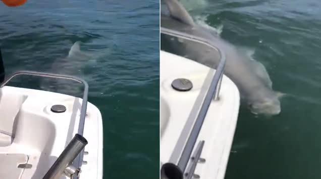 43米长大白鲨抢食渔获 渔民称尺寸巨大前所未见
