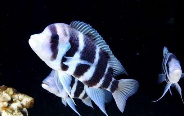 北京鱼缸批发市场六间鱼的饲养方法