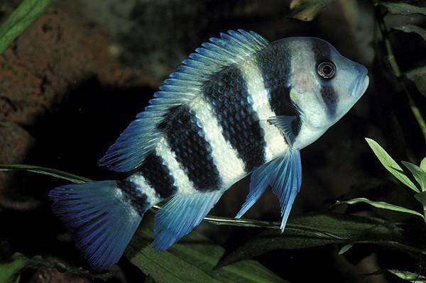 六间鱼图片怎么养好养吗