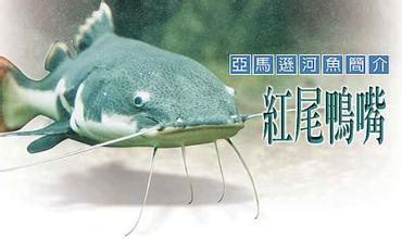 北京热带鱼狗仔鲸吃鱼吗