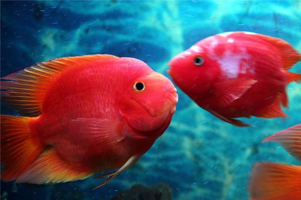 鹦鹉鱼怎么养养几条最旺财