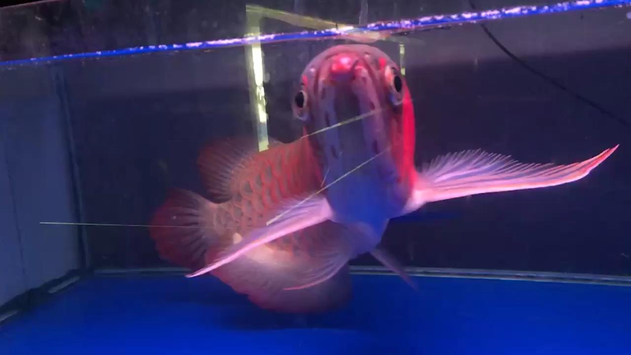 天子种鱼商情 北京龙鱼论坛