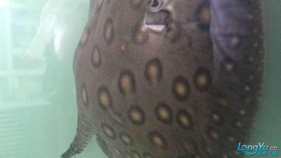 大神帮忙看一下小珍珠 北京龙鱼论坛 北京龙鱼第2张