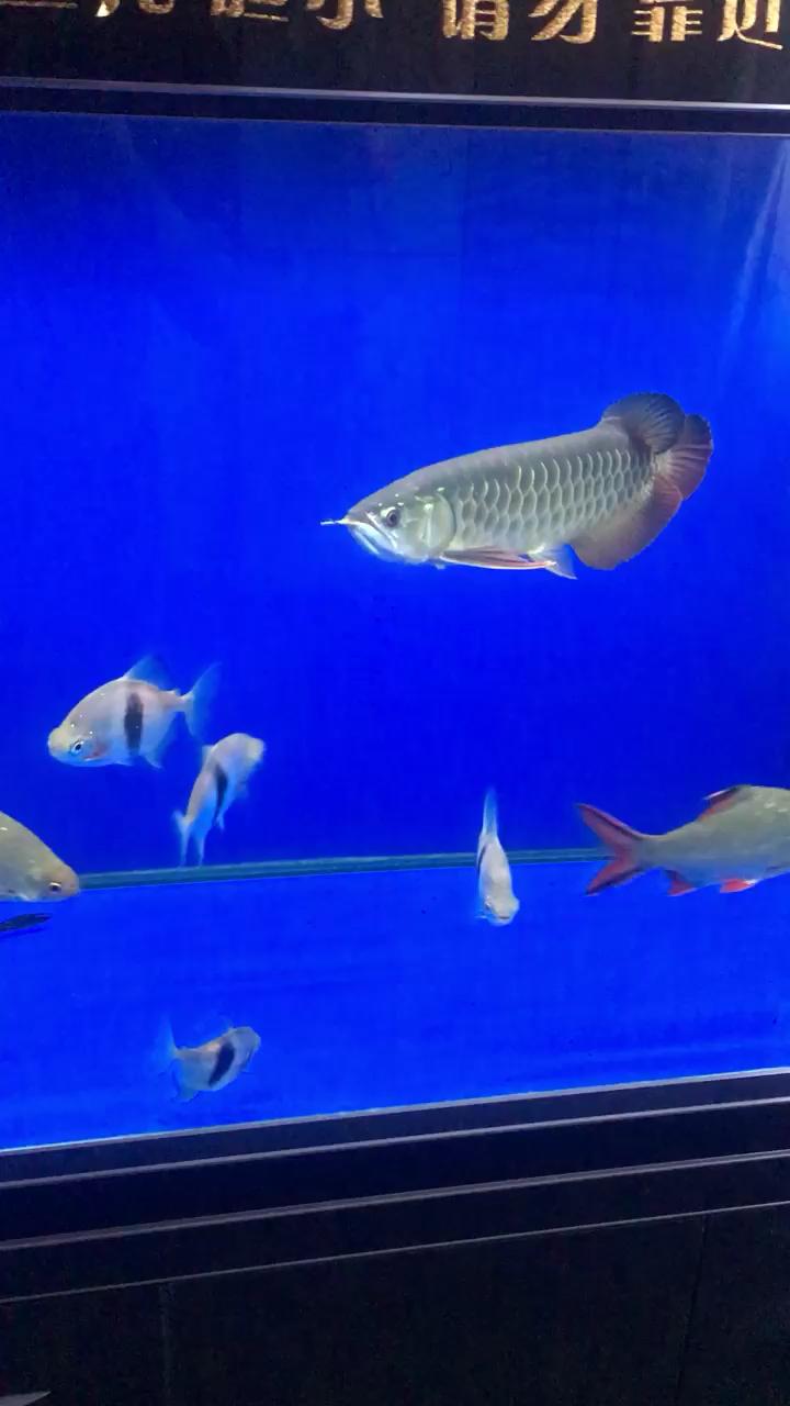 天天一看见我就这样 北京观赏鱼 北京龙鱼第1张