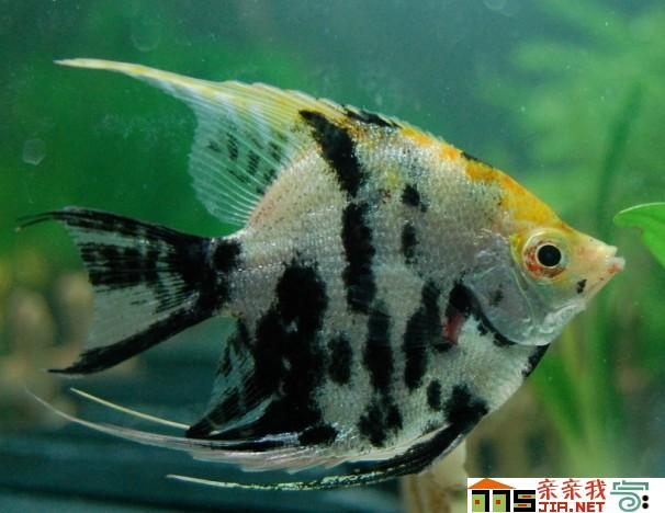 天天一看见我就这样 北京观赏鱼 北京龙鱼第2张