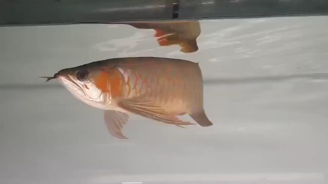 真正的白玉红龙底色会是什么样的?北京水族箱 北京观赏鱼 北京龙鱼第1张