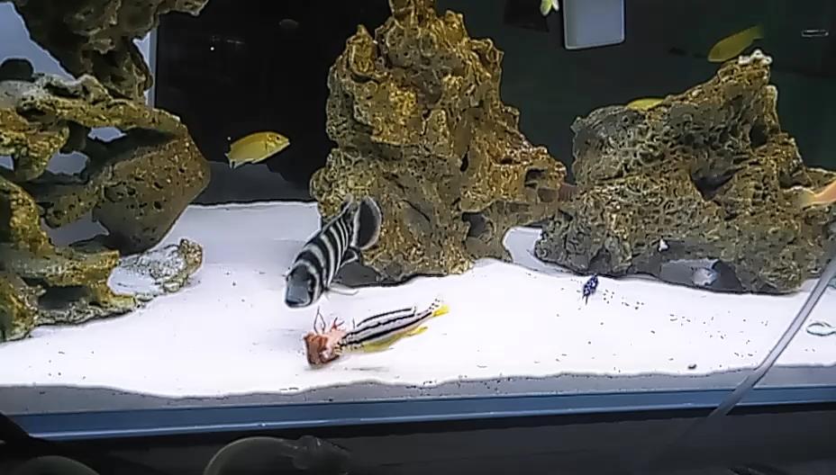 小鱼们北京十里河水族市场也开始吃龙虾了 北京观赏鱼