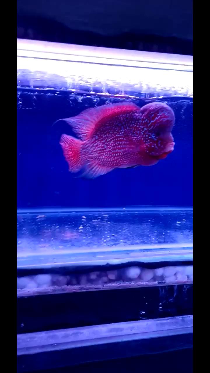 北京买鱼缸最大的市场大体格罗汉鱼 北京观赏鱼 北京龙鱼第1张