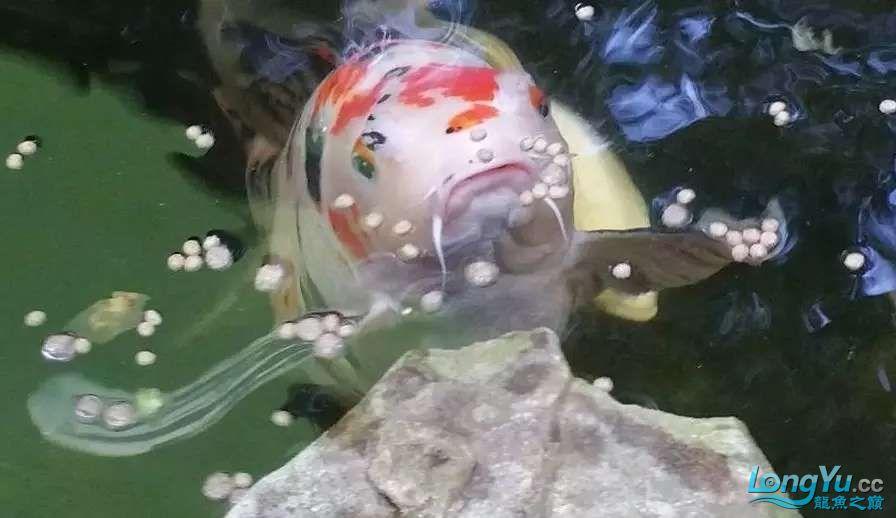 造鱼池再也不需要半亩地和后花园了 北京观赏鱼 北京龙鱼第21张